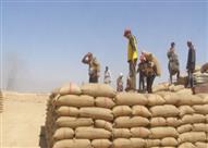 زراعة القليوبية: توريد 209 آلاف و806 أطنان قمح من المزارعين