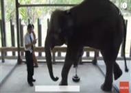 فيل يخطو خطواته الأولى بقدم صناعية