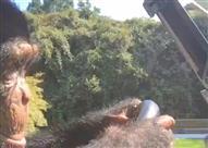 بالفيديو - شمبانزي يقود سيارة جولف بمهارة لجذب انتباه النساء