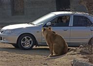 بالفيديو.. نمر يخطف امرأة ويقتلها بعد خروجها من السيارة!