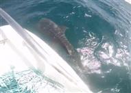 """وزير البيئة يفجر مفاجأة حول القرش """"بهلول"""" الذي ظهر بشواطئ مرسى علم"""