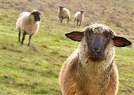 كيفية اختيار خروف العيد وطريقة الذبح الصحيحة