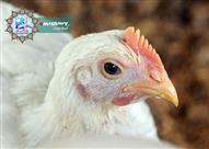هل يمكن أن أذبح دجاجة كأضحية ؟