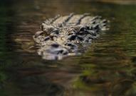 """بالصور- حاول إثارة إعجاب صديقته فتلقى """"عضة"""" تمساح!"""