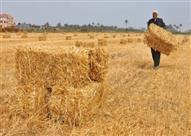 """مع بدء موسم حصاد القمح.. مزارعون بالأقصر لـ""""مصراوي"""": """"ضهرنا انحنى"""