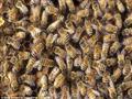 النحل القاتل