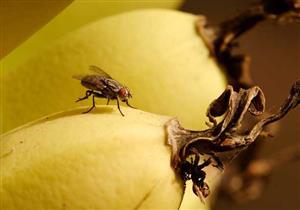 ينتشر الذباب حول الفاكهة؟ .. اليك الحل