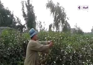 وزارة الزراعة تقرر وقف إستيراد القطن من الخارج