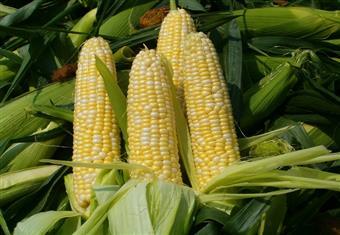 """""""الزراعة"""" تطلق فعاليات الحملة القومية للنهوض بزراعة الذرة الشامية"""