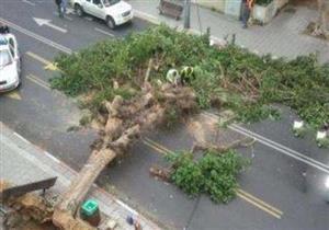 بسبب الرياح.. سقوط شجرة ضخمة يقطع طريق شبين الكوم- بركة السبع