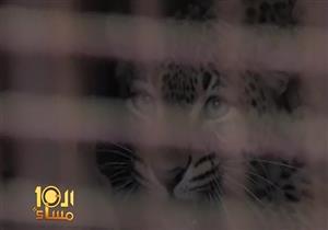 بالفيديو- لحظة اصطياد نمر العياط بعد قتل طفلة