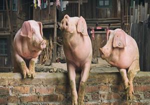 باحثون: استخدام أعضاء الخنازير لسد العجز في العثور على أعضاء بديلة للمرضى