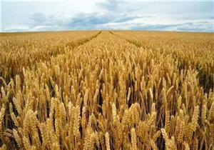 """الحكومة: زراعة مليون فدان قمح بنظام """"المصاطب"""" لتوفير 25% من مياه الري"""