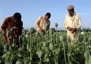 تقرير أممي: أفغانستان تسجل أكبر حصاد للأفيون في تاريخها هذا العام