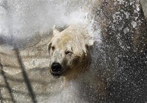 مصور يبكي أثناء التقاطه مشهدًا لدب قطبي .. تعرف على السبب