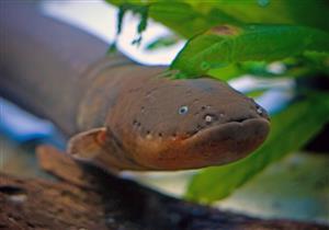 السمك الرعاش يلهم العلماء لإنتاج الطاقة بطريقة فريدة