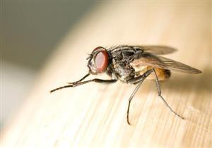 بالفيديو: دراسات عالمية تأكد سٌنة نبوية.. معجزة طبية في جناح ذبابة