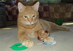 هل تؤثر تربية القطط في المنزل على ضعف القدرات العقلية للأطفال؟