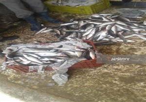 ضبط 720 كيلو أسماك فاسدة في شبرا الخيمة