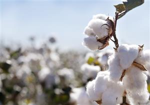 وزير الزراعة لمصراوي: الإعلان عن أسعار ضمان القطن خلال أيام