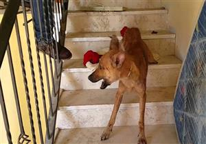 طفل يروي تفاصيل مهاجمة كلاب ضالة له بأحد مراكز الشباب بحلوان