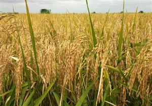 رئيس شعبة الأرز: احتياطي المحصول يكفي لمدة ٣ شهور