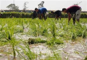 أسعار الأرز تتراجع مع اقتراب ظهور المحصول الجديد