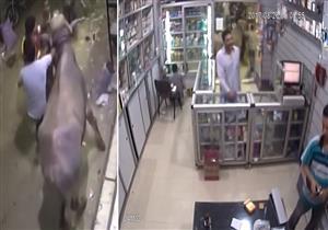 """فيديو متداول لـ """"عجل هائج"""" يقتحم صيدلية ويحطم واجهتها - فيديو"""