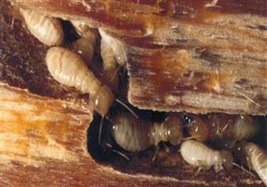 """""""الزراعة"""": معالجة 2483 وحدة ضد النمل الأبيض في 16 محافظة"""