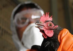 اليابان تبدأ في إعدام 92 ألف دجاجة بسبب أنفلونزا الطيور