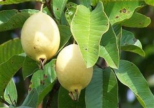 """""""الزراعة"""": القرار السعودي بحظر استيراد الجوافة يضر بسمعة مصر"""