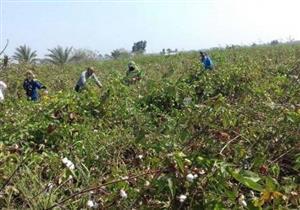 """""""الزراعة"""": ارتفاع متوسط إنتاجية الحقول الإرشادية للقطن في الغربية"""