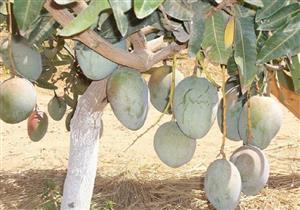 """""""الزراعة"""": 47 ألف فدان مانجو مصابة بالحشرة القشرية.. وهذه طريقة مكافحتها"""