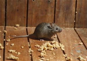 بعيدًا عن الكيماويات.. 5 طرق طبيعية للقضاء على فئران المنزل بسهولة