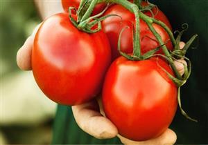 """""""اليونيدو"""": إطلاق مشروع لتحسين الطماطم بمليوني يورو يناير المقبل"""