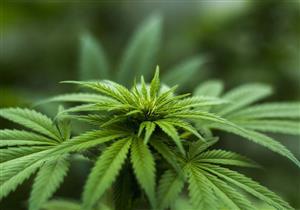 دراسة لهارفارد: نبات الحشيش قد يمنع نمو ورم البنكرياس