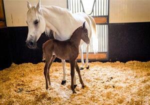 منتجع 5 نجوم للخيول في هذه الدولة العربية