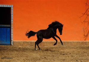 بعد نفوق أجمل حصان في مصر.. تعرف على خريطة مزارع الخيول العربية الأصيلة
