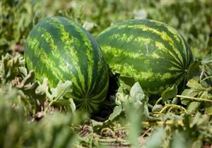 البطيخ يثير الرعب في أستراليا..والسبب
