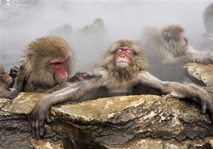 دراسة: استحمام القرود في ينابيع المياه الساخنة يخفف شعورها بالضغط النفسي