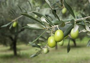 """""""دفاع النواب"""" توصي باستحداث مشروع قومي لزراعة الزيتون في سيناء"""