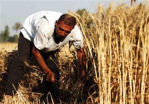 التخطيط: زيادة زراعة القمح لـ 3.4 مليون فدان العام المقبل (إنفوجرافيك)