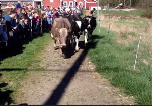 فيديو- أبقار تقفز فرحا بعد خروجها إلى المزارع