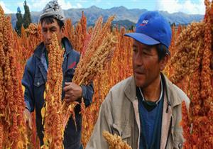 بعد نجاح مصر في زراعة الكينوا.. تعرف على أكبر الدول المنتجة له حول العالم