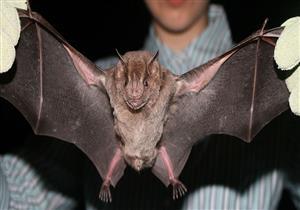 اكتشاف خفاش اختفى منذ 22 عاما في جنوب اليابان