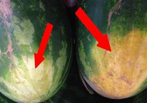 ماذا يعني وجود البقع الصفراء على قشر البطيخ؟..خبير زراعي يجيب