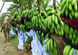 الزراعة: الري بالتنقيط شرط زراعة الموز بالأراضي المستصلحة - فيديو