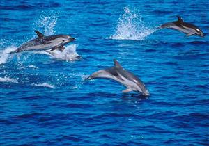 """الدلافين تنادي بعضها بـ """"أسماء"""" كالبشر"""