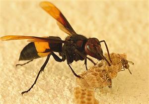 """""""كرات انتحارية ساخنة"""".. كيف يدافع النحل عن نفسه من الدبابير؟"""