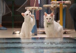 تركيا تبني أحواض سباحة للقطط